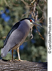 Adult black crowned night heron stands on branch - Adult...