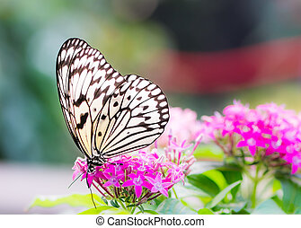 Large tree nymph butterfly on a flower blossom - Macro of a...