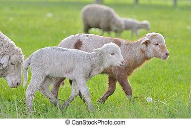 sheep, fjäder, Lamm, ung, tid