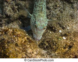 checkerboard goby fish at coral