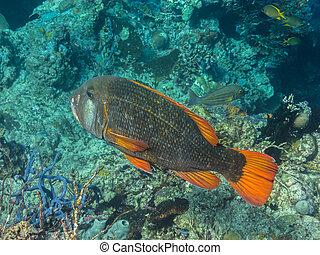 rudd fish coral reef