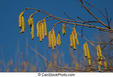 Flowering hazel - The hazel tree blooms in early spring and...