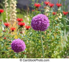 Allium Flower - Big Allium flower growing in the garden