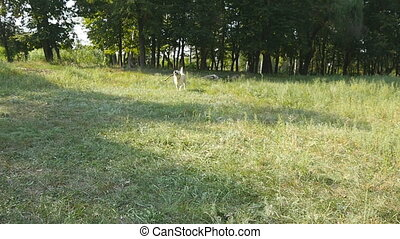 Dog breed labrador or golden retriever running with stick in...