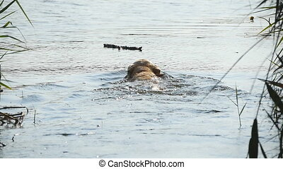Dog breed labrador or golden retriever swimming to get a...
