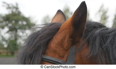 Brown horse playing with their ears. Chestnut stallion...