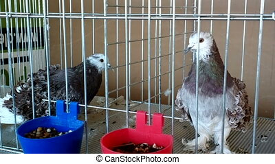 Decorative birds pigeons different breeds and colors....