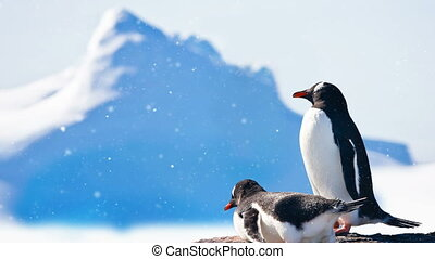 Antarctic Wildlife: two black and white penguins resting -...