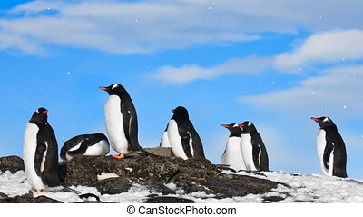 Antarctic Wildlife: group of black and white penguins -...
