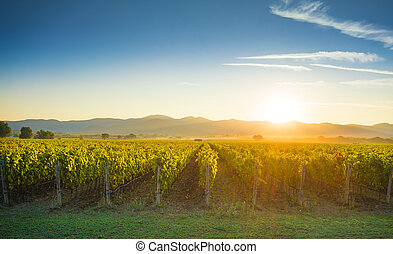 Bolgheri and Castagneto vineyards sunrise backlight. Maremma...