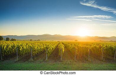 Bolgheri and Castagneto vineyards sunrise backlight. Maremma...