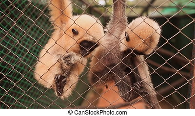 White fluffy monkeys in a cage. (Shot in Full HD -...