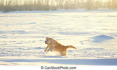 Golden retriever dog enjoying winter playing jumping in the...