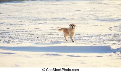 Golden retriever dog enjoying winter in the snow on sunny day in slow motion.