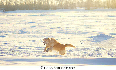 Golden retriever dog enjoying winter jumping in the snow on...