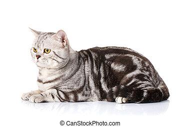 Silver bicolor scottish kitten - cute Silver bicolor...