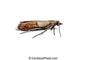 Cloth moth macro - Brown cloth moth isolated on white...