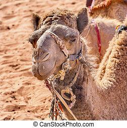 Camel Valley of Moon Wadi Rum Jordan - Camel Close Up Wadi...