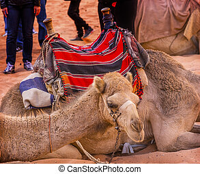 Camels Valley of Moon Wadi Rum Jordan - Camels Close Up Wadi...