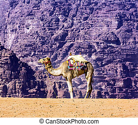 Yellow Sand Dune Camel Valley of Moon Wadi Rum Jordan -...