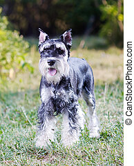 Miniature Schnauzer - Portrait of a young miniature...