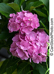 Close up of pink hortensia flower