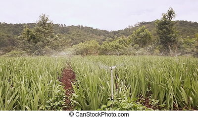 Plantation of flowers are watered with automatic watering....