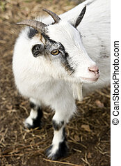 Billy goat - High angle view of billy goat, shallow DOF,...