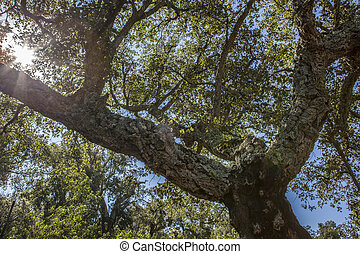 Cork Oaks forest at Cornalvo, Extremadura, Spain - Cork Oaks...