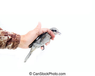 Great grey Shrike in hands. - Nine killer. Prey Great Grey...