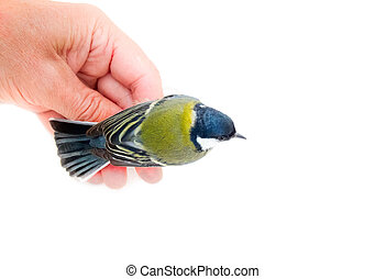Great tit on hand on white background - Most beautiful and...