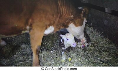 A few minutes after birth mother cow licking young infant...
