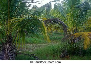 Palmas,  backwaters,  India, sagú,  Kerala