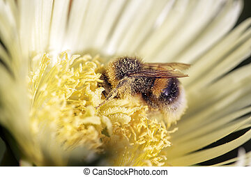 Bumblebee covered in pollen - Bumblebeebee covered in...