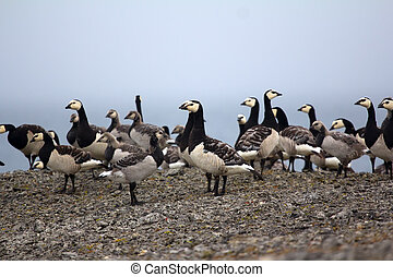 Barnacle goose worrying in front of camera in Arctic desert...