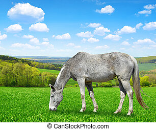 Gray horse grazing on the spring meadow.