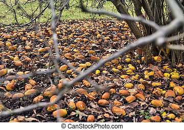 many windfall apples laying in the dirt