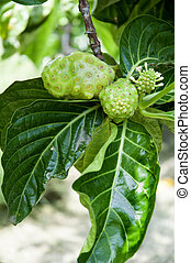 a  noni fruit - a some noni fruit on the tree