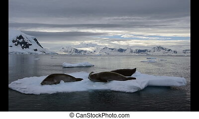 Crabeater seals on the ice. - Crabeater seals on the ice...