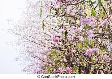 Tabebuia rosea - Pink trumpet tree flower blooming in...