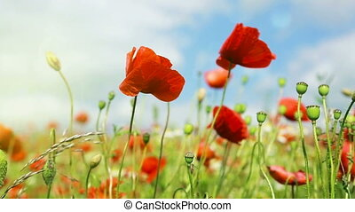 Poppies field in rays sun. Field of red poppies in bright...
