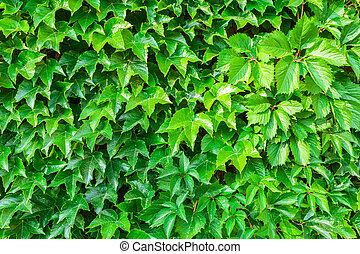 Parthenocissus tricuspidata against the background of a...