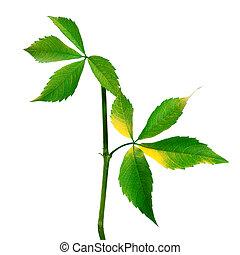 Branch of grapes leaves (Parthenocissus quinquefolia...