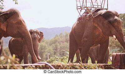 Tourist elephants stand on outdoor