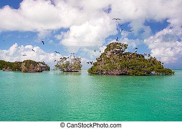 Mangroves and Frigatebirds - Frigatebirds on mangroves in...