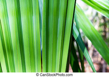 Chit Palm in Mexico