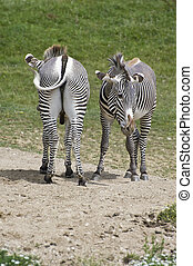 Pair of opposite facing zebras - Pair of zebras facing...