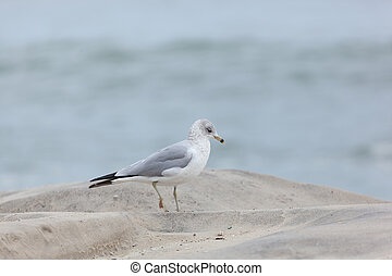 Seaside Heights Seagulls - Seagulls stand on the beach in...