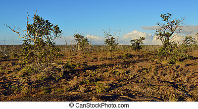 trees growing on old lava in Volcano National Park at...