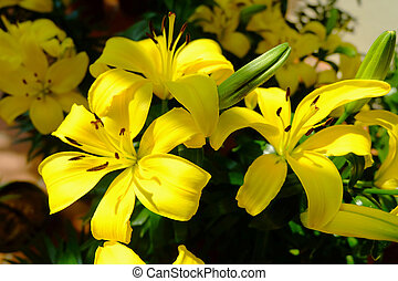 Yellow lilly flower - Yellow lilly (Lilium) flower in summer...